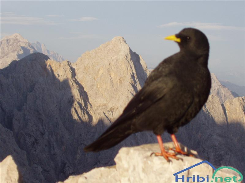 Planinska kavka (Pyrrhocorax graculus) - Picture