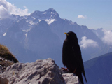 Alpine Chough (Pyrrhocorax graculus)