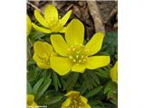 Winter aconite (Eranthis hyemalis)