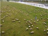Narodni park Češka/Saška ŠvicaPasoče se ovce ob Labi - sredi Dresdna!