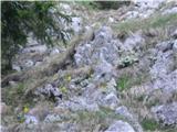 Veliki Rogatecavrikelj še cveti