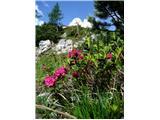 Pot  Anita Goitanrododendron
