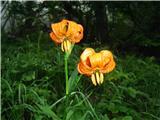 Vernarvsaj kranjska lilija me malo razveseli ko tako žari