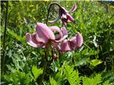 Kobariški Stolturška lilija