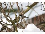 Hranjenje pticMočvirska sinica