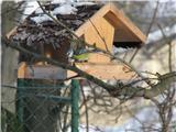 Hranjenje pticPlavček ali modra sinica.