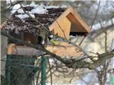 Hranjenje pticVelika sinica.