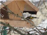 Hranjenje pticLIščki so vsakodnevni gostje. Kar parkirajo se v krmilnico.