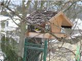 Hranjenje pticPlavček se ga ne boji.