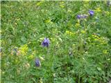 Robanov kot - Robanova planinacvetje v Robanovem kotu - vse cveti...