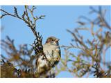 Hranjenje pticDomači vrabec samec