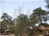 Polhograjska Grmada in ToščKrasni borovci ob poti