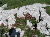 Kalški grebenRhododendrom