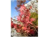 Polhograjska GrmadaJesenska rožica tik pod vrhom.