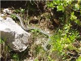 Kače v Slovenijipod Kokrskim sedlom, junij 2009