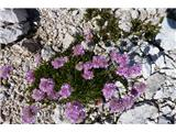 Visoki KaninLepa barva cvetic