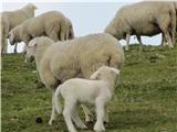 Kalški grebenPrijazne ovčke na Krvavcu