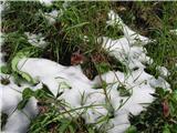 Katera rožca je to?Med snegom. Potočna sretena.