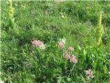 Katera rožca je to?Veliki bedrenec, ki ga polno tik pred kočo na Črni prsti na tistem prijetnem travničku ob poti.