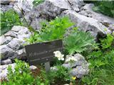 Katera rožca je to?Kobulasto veternico trenutno srečujem na vseh gorskih poteh ,ki jih trenutno obiram.