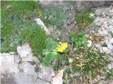 Katera rožca je to? Letos prvič vidim avrikelj  tik pod bivakom.