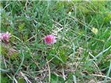 Katera rožca je to?Takoj nad kočo rastejo murke-tudi prvič letos videne. To je kamniška murka. Raste samo v Kamniško-Savinskih Alpah. Prepoznamo potem, da so spodnji cvetni lističi skoraj beli.