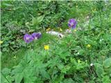 Katera rožca je to?Okrog ruševin stare koče raste polno navadnih krvomočnic, ki jih srečujemo tudi v dolini. To je rjavo rdeča krvomočnica. Prepoznamo po značilnem cvetu.