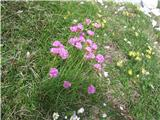 Katera rožca je to?Lepo rastišče alpskega pečnika.