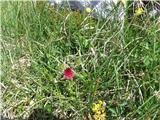 Katera rožca je to?Kamniško murko poznam, samo ta ni rastla na pravi gori. Gre za rdečo murko, ki raste v Julijcih poleg črne murke.