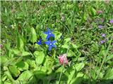 Katera rožca je to?To je trebušasti svišč. Pod cvetom ima velik trebušček. Na daljšem stebelcu ima več cvetov.