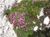 Visoki Kanintudi kakšna rožica se najde tam gor