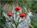 Planina Za Skalo in KaluderKranjska lilija
