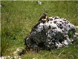 MontažAlpski svizec na planini Pecol.