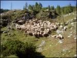 Ovca (Ovis aries)