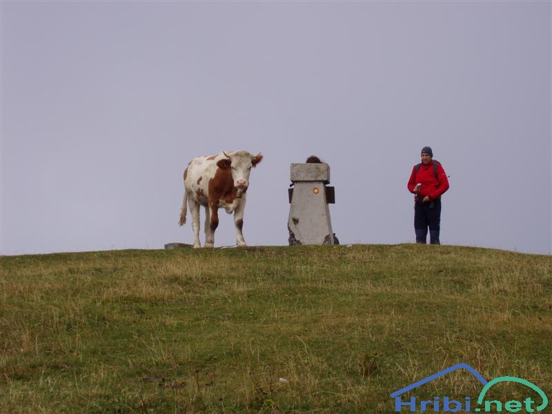 Domače govedo (Bos taurus) - Picture