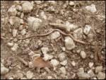 Slepec (Anguis fragilis)