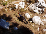 Black Grouse (Lyrurus tetrix)