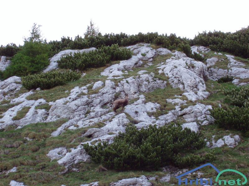 Gams (Rupicapra rupicapra) - Slika