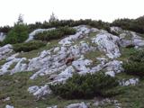 Gams (Rupicapra rupicapra)