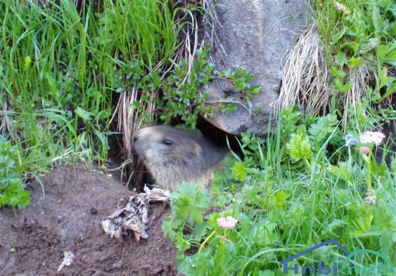 Alpski svizec (Marmota marmota) - PictureAlpski svizec.