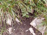 European adder (Vipera berus)