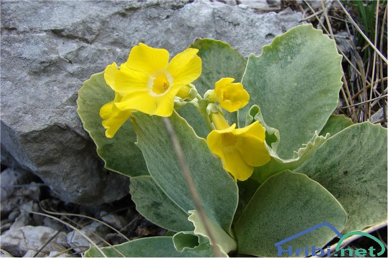 Lepi jeglič ali avrikelj (Primula auricula) - SlikaAvrikelj.