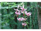 Martagon lily (Lilium martagon)