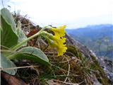 Auricula (Primula auricula)