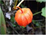Voljčje jabolko (Physalis alkekengi)