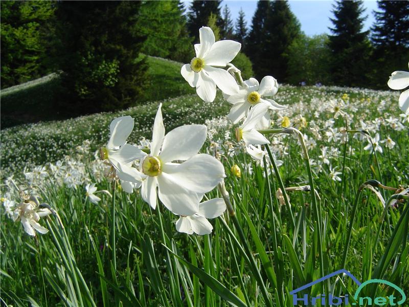 Gorski narcis (Narcissus poeticus radiiflorus) - PictureGorski narcis