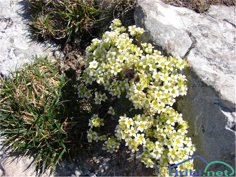 Nasršeni kamnokreč (Saxifraga squarrosa) - SlikaNasršeni kamnokreč.