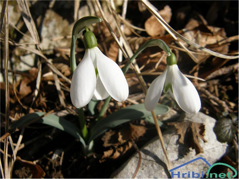 Mali zvonček (Galanthus nivalis) - PictureMali zvonček, slikan konec januarja na Sinjem vrhu.