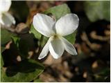 White Violet (Viola alba)