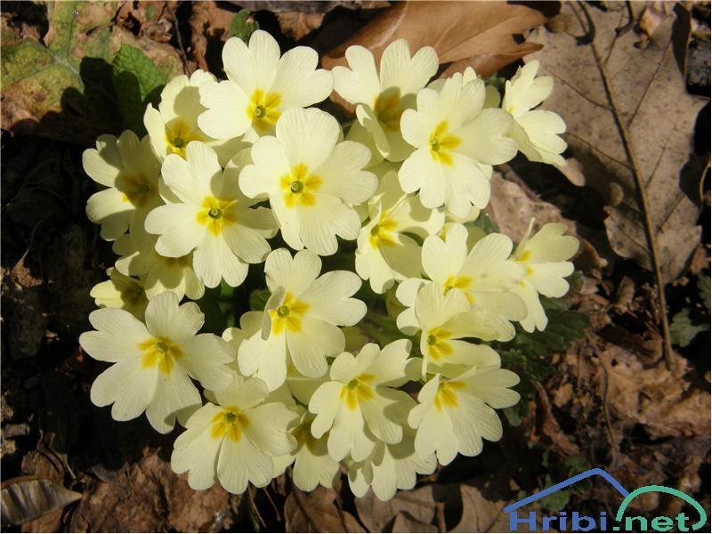 Navadni jeglič ali trobentica (Primula vulgaris) - SlikaTrobentice, slikane konec februarja na Donački gori.